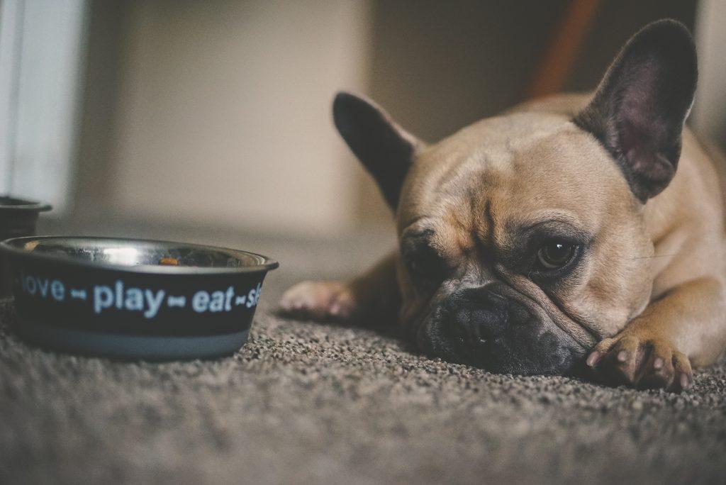 Un chien devant sa gamelle